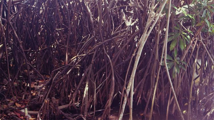 Mangrove Trees (Kadolana)